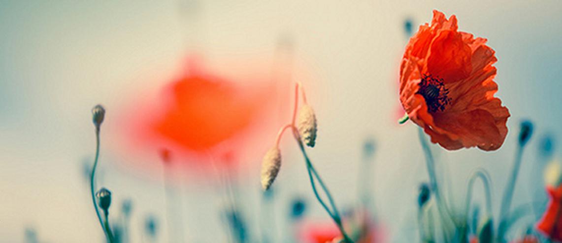 Roter Klatschmohn auf sommerlicher Wiese